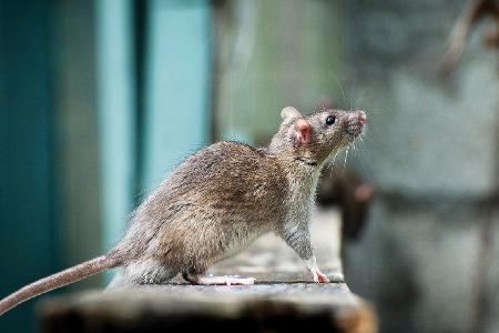 Rat-Removal
